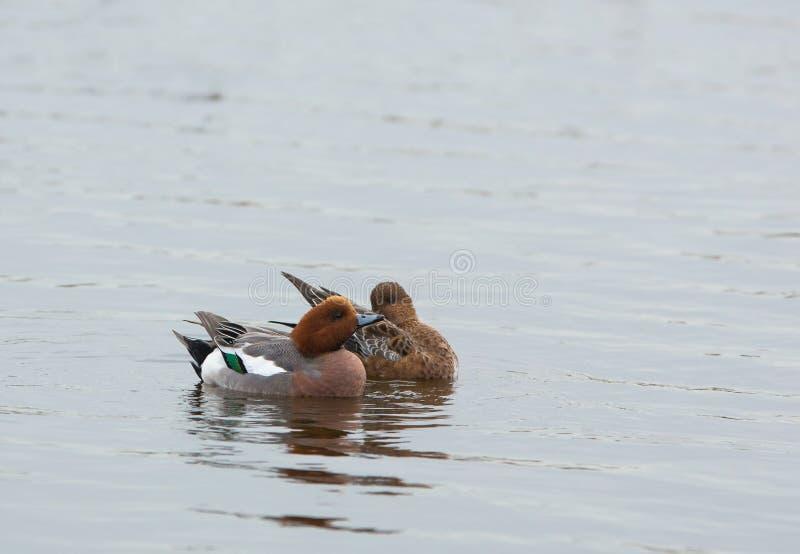 Couples de canard de Widgeon image stock