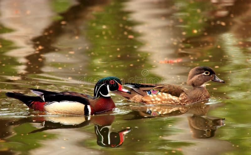 Couples de canard en bois image stock