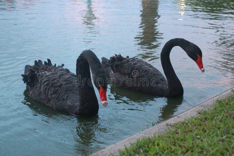 Couples de cygne noir images stock