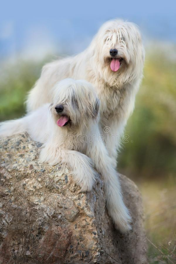 Couples de grand chien blanc photos libres de droits