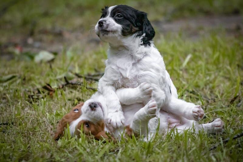 Couples de l'épagneul de Bretagne heureux de chiens de bébé jouant autour, se sentant et caressant photos stock
