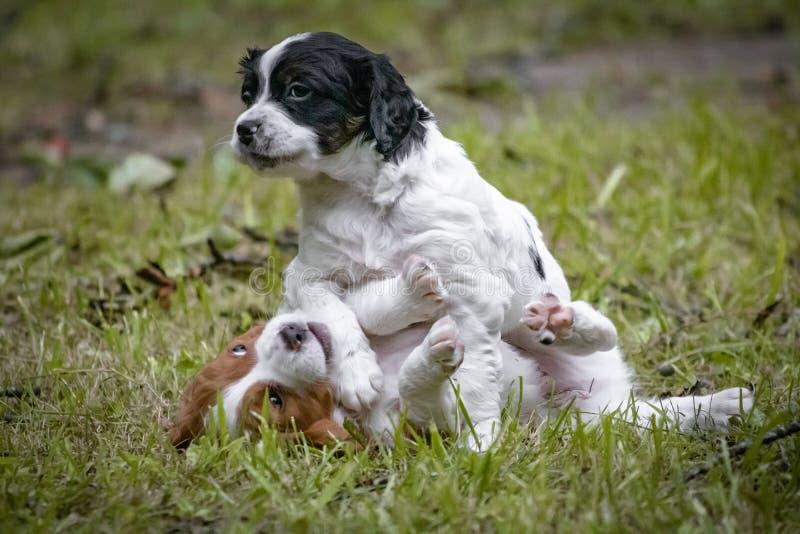 Couples de l'épagneul de Bretagne heureux de chiens de bébé jouant autour, se sentant et caressant photo stock