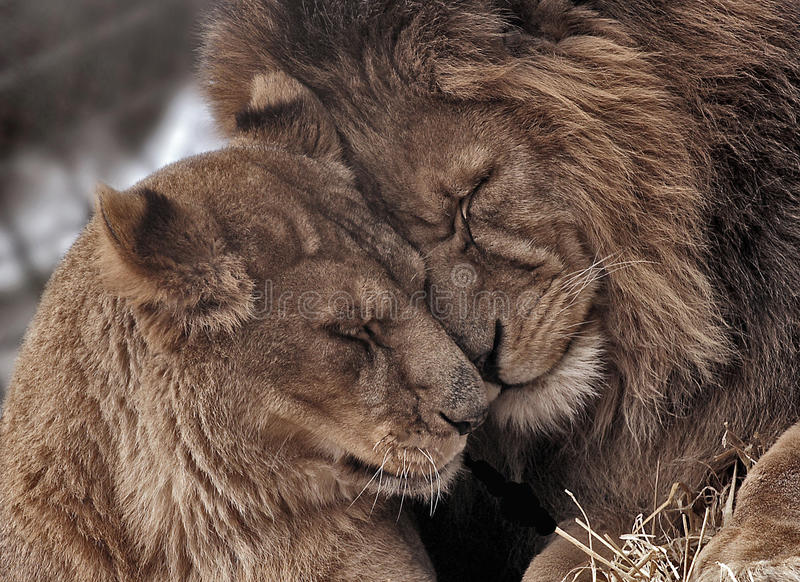 Couples de lion image libre de droits