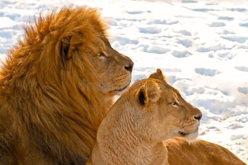 Couples de lion se situant dans la neige images stock