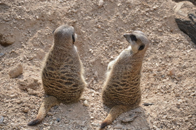 Couples de Meerkat image stock