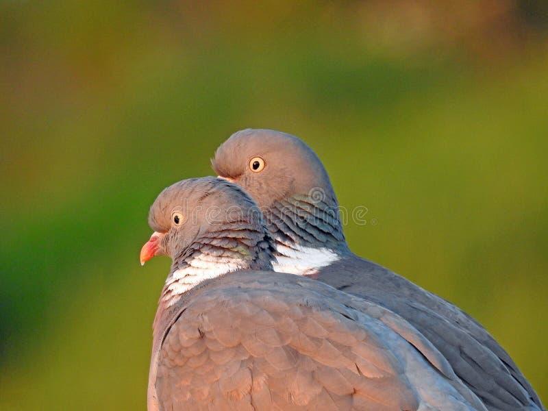 Couples de paires de profil de tête de détail de plume de ramier photos stock