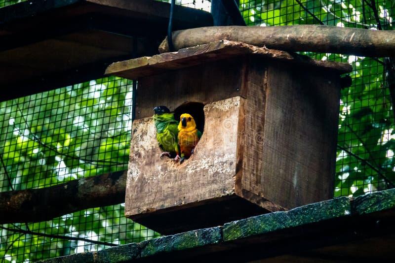 Couples de perruche de Sun et de perruche de Nanday chez Parque DAS Aves - Foz font Iguacu, Parana, Brésil photo libre de droits
