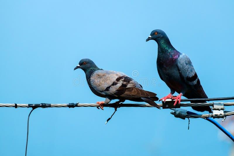 Couples de pigeon photos stock