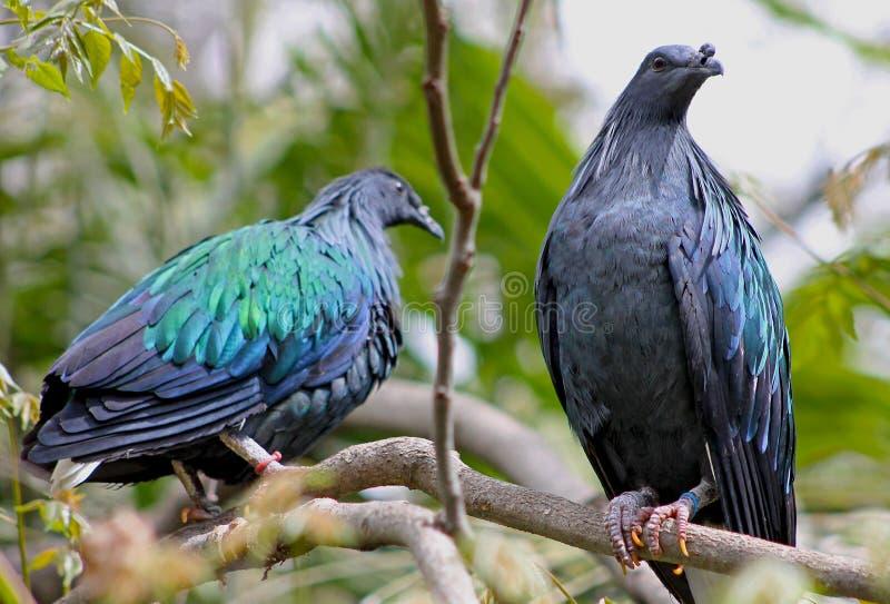 Couples de pigeon de Nicobar images libres de droits