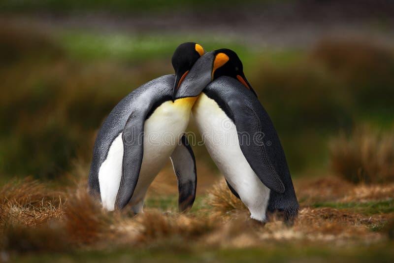 Couples de pingouin de roi caressant en nature sauvage avec le fond vert