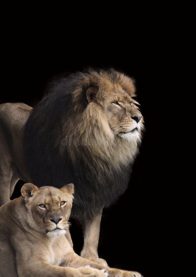 Couples de pouvoir, lionne avec le lion à l'arrière-plan images libres de droits