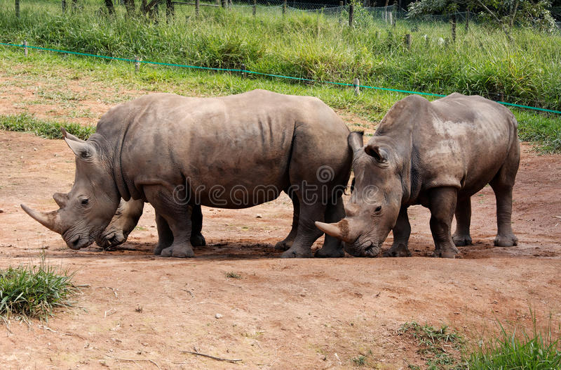 Couples de rhinocéros photo stock