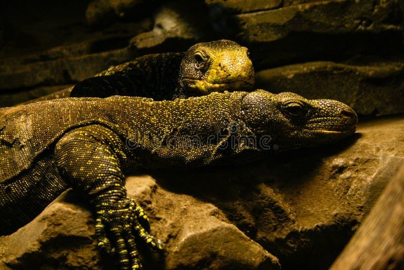 Couples de Varanus Salvadorii de moniteur de crocodile se reposant dans une mini-serre photographie stock libre de droits