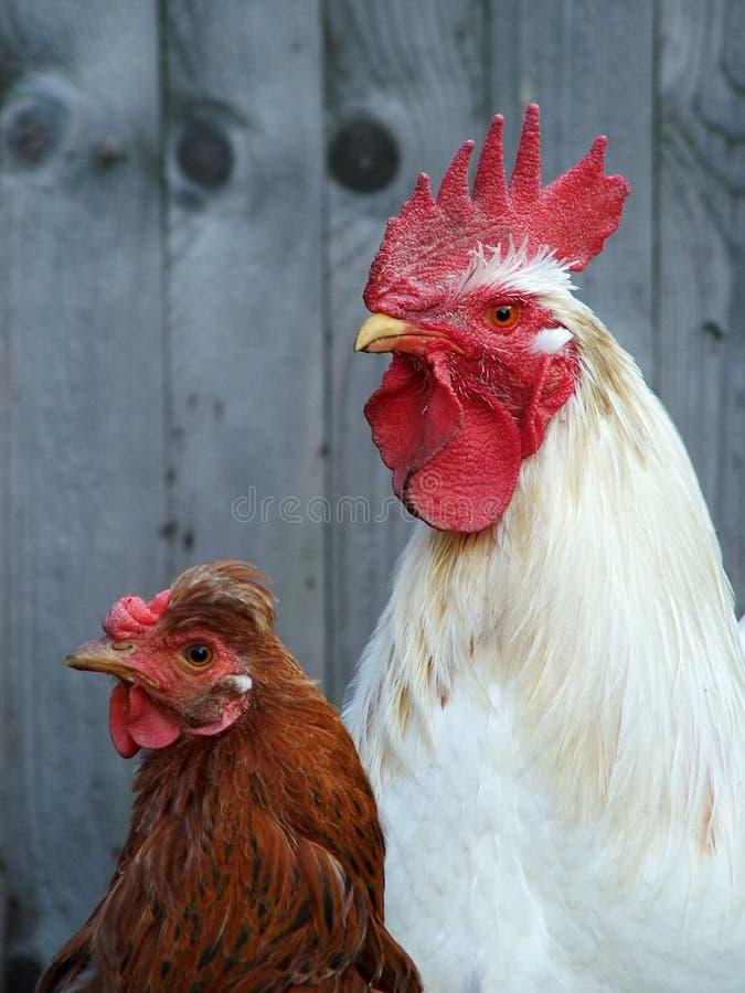 Couples de volaille images libres de droits