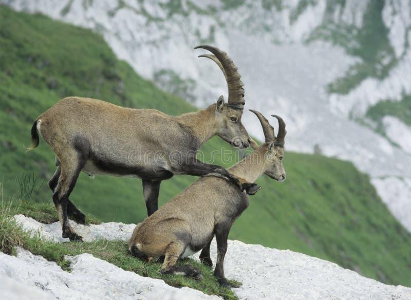 Couples des bouquetins alpins photos libres de droits