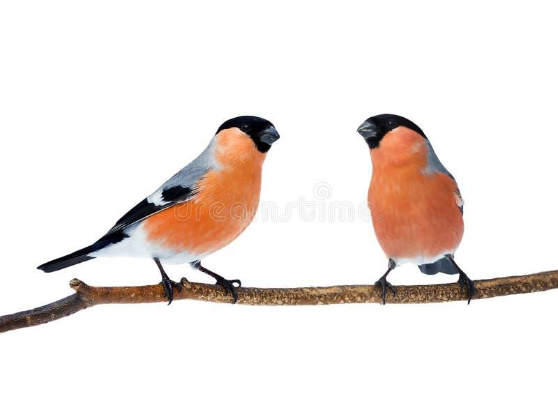 Couples des bouvreuils rouges lumineux d'oiseaux se reposant sur la branche i photographie stock