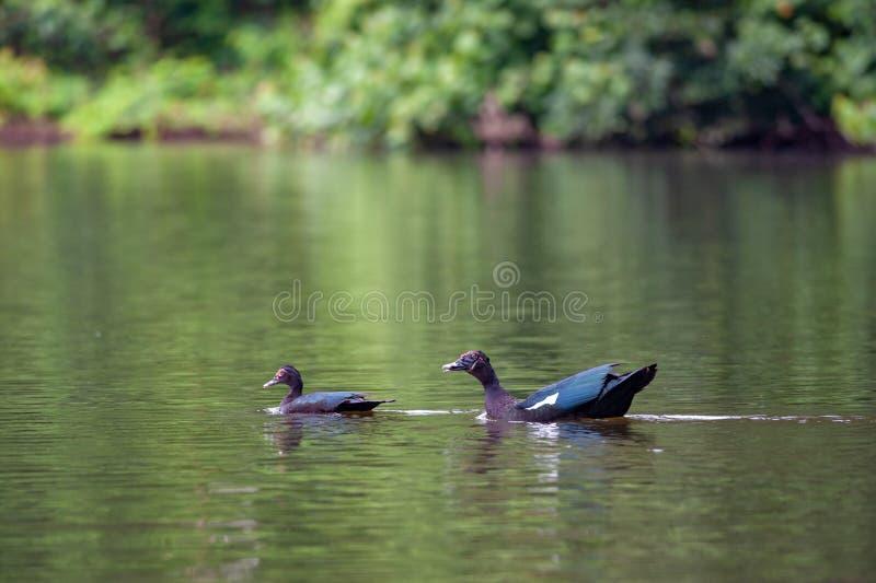 Couples des canards avec les oeufs colorés images libres de droits