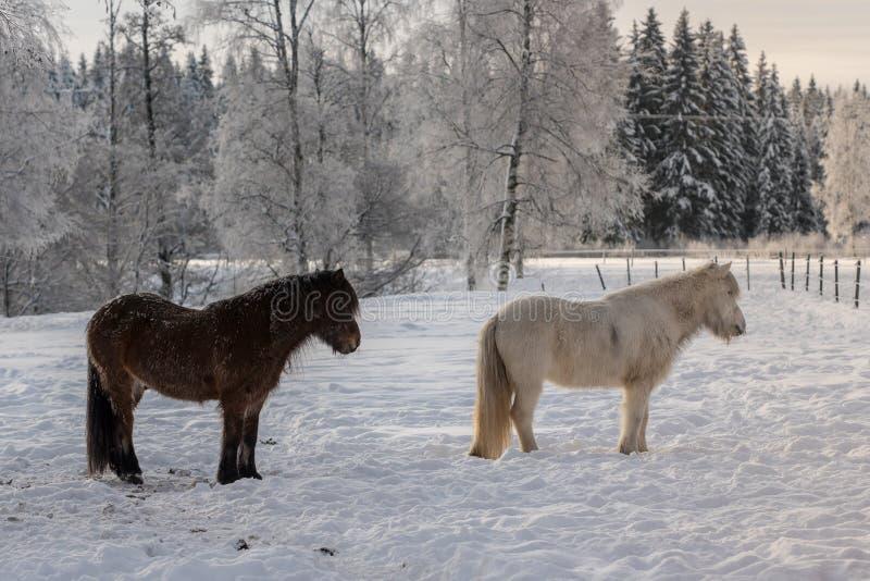 Couples des chevaux islandais dans la neige photos stock