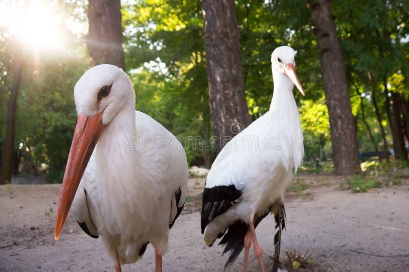 Couples des cigognes photo libre de droits