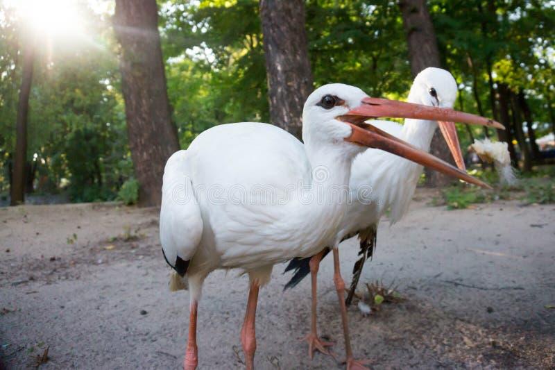 Couples des cigognes photographie stock libre de droits
