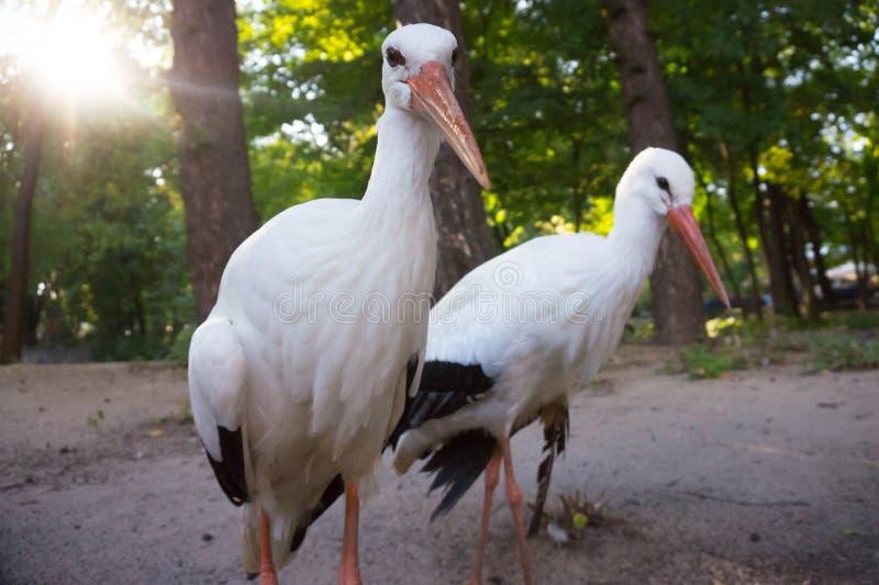 Couples des cigognes photos libres de droits