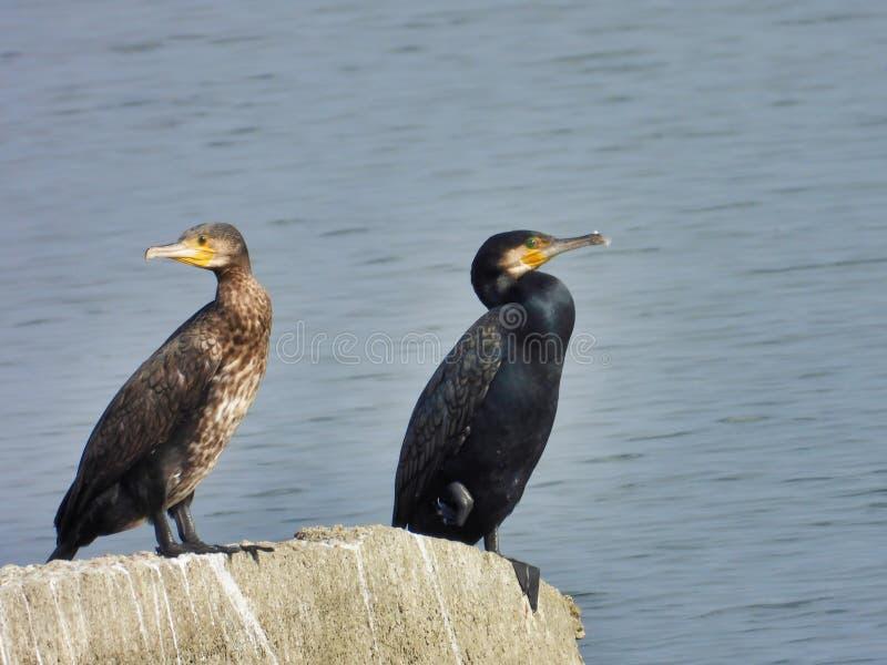 Couples des cormorans se reposant au soleil avec de l'eau bleu à l'arrière-plan photo stock