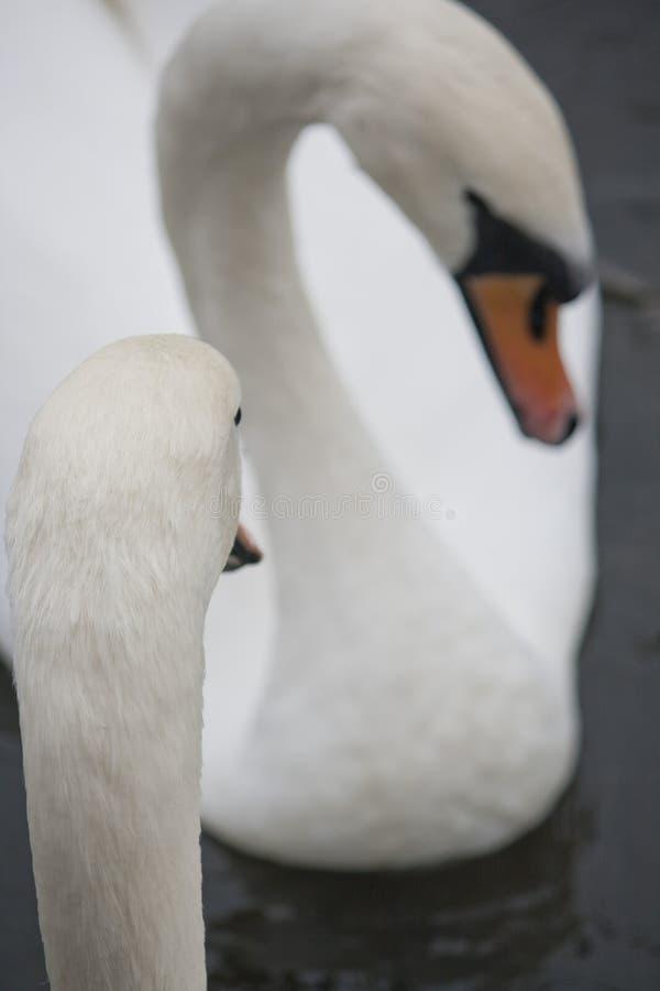 Couples des cygnes blancs photographie stock libre de droits