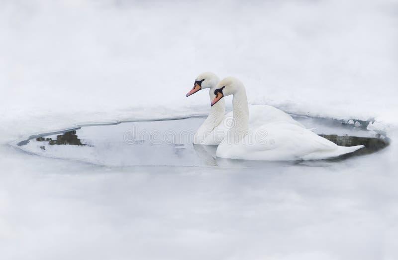 Couples des cygnes dans le glace-trou photos stock