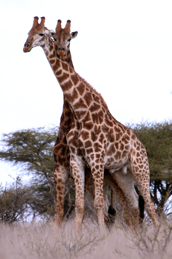 Couples Des Giraffes Africaines Photos stock