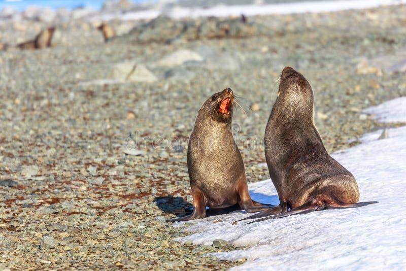 Couples des joints de fourrure antarctiques jouant et écorçant à l'un l'autre photos libres de droits