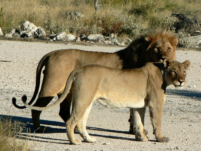 Couples des lions photos stock