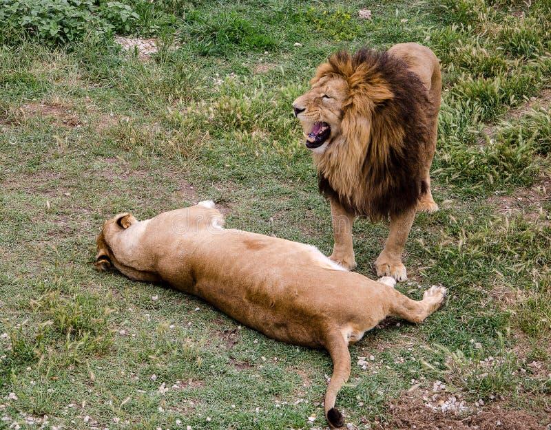 Couples des lions photos stock