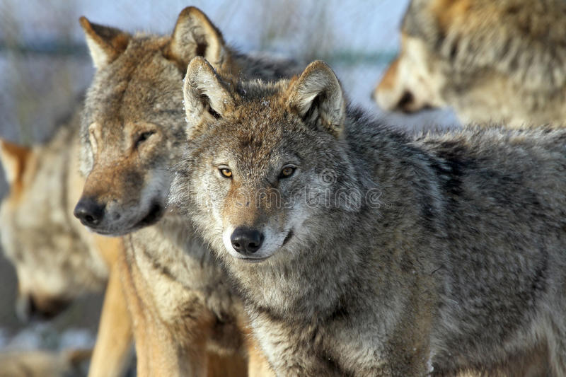 Couples des loups photo libre de droits