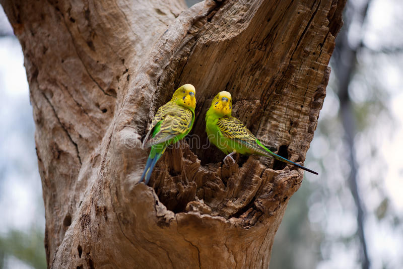 Couples des perroquets de perruche sur le nid photographie stock