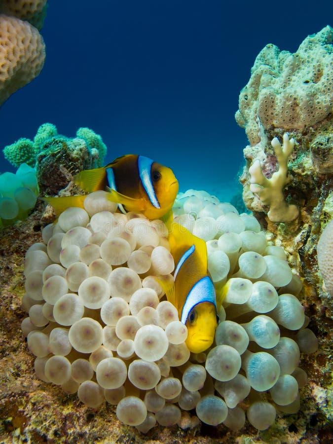 Couples des poissons d'anémone image stock