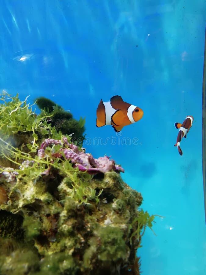 Couples des poissons de Nemo image libre de droits