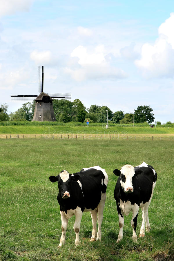 Couples des vaches dans des horizontaux hollandais avec le moulin image libre de droits