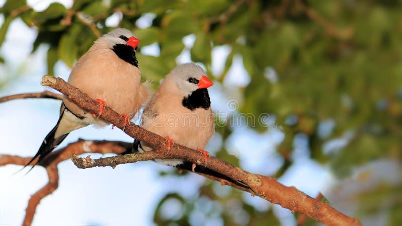 Couples du Grassfinch de l'estacade à claire-voie photographie stock libre de droits