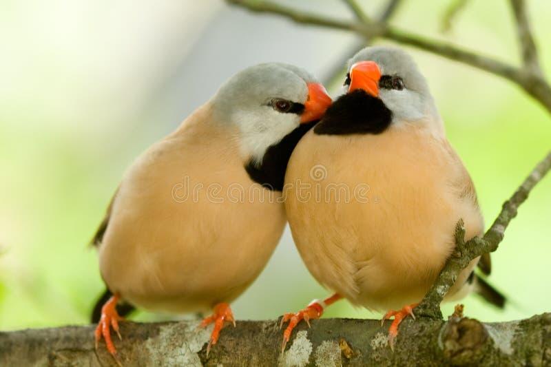 Paires mignonnes d'oiseaux photo stock