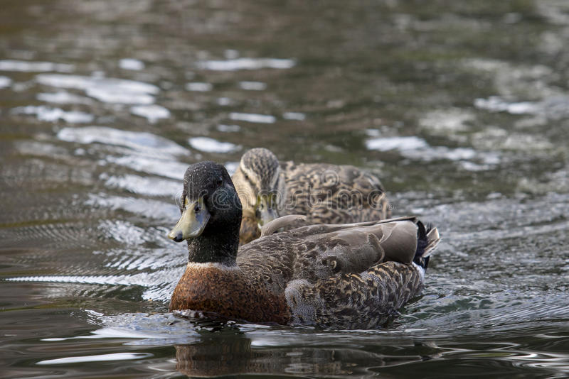 Couples mallard duck swimming in water pool stock images