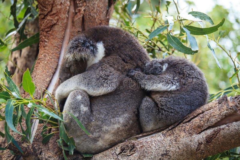 Couples mignons d'embrassement de m?re australienne d'ours de koala et son de b?b? dormant sur un arbre d'eucalyptus images stock