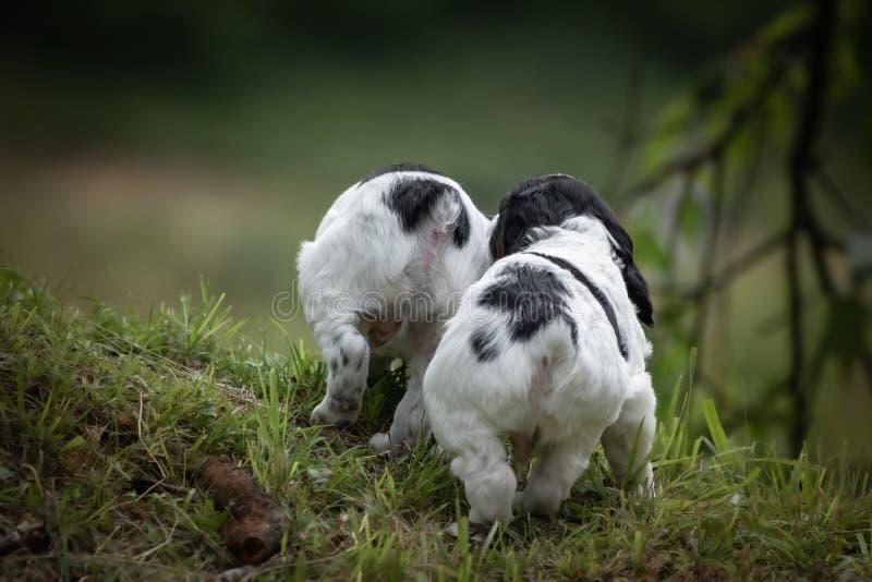 Couples mignons et curieux de portrait noir et blanc de chiot de chiens d'épagneul de Bretagne de bébé, jouant et explorant, vue  image stock