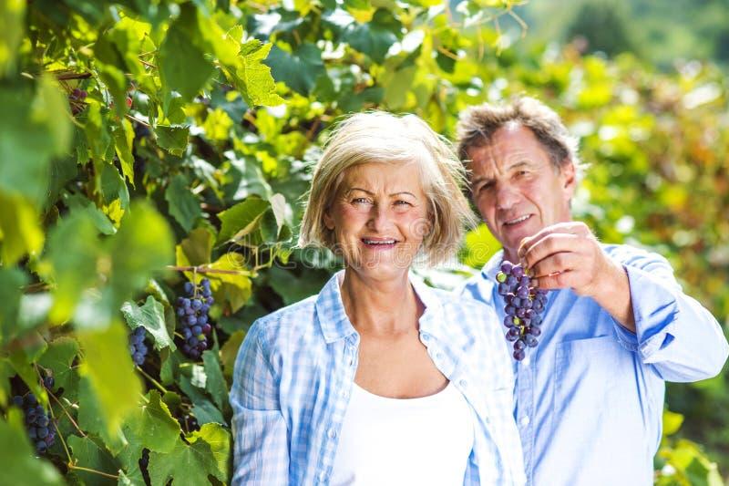 Couples moissonnant des raisins images stock
