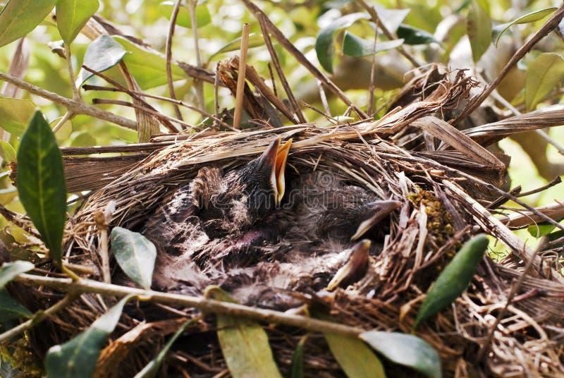 Couples Of New Born Blackbirds Royalty Free Stock Photos