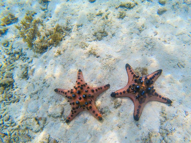 Couples oranges d'étoiles de mer sur le fond marin arénacé Photo sous-marine des poissons d'étoile en bord de la mer tropical Pla photo stock