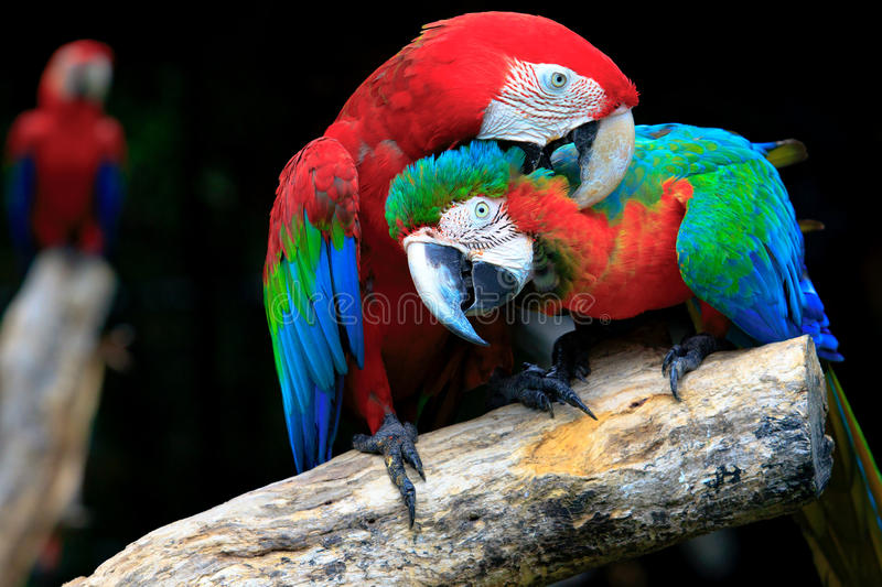 Couples of red scarlet macaws birds perching on tree branch stock photos