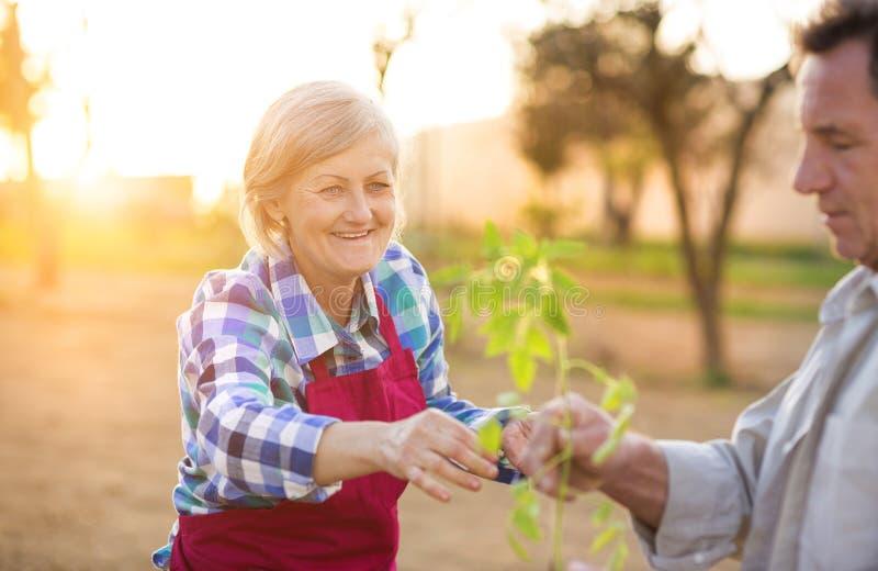 Couples supérieurs plantant des jeunes plantes photos libres de droits