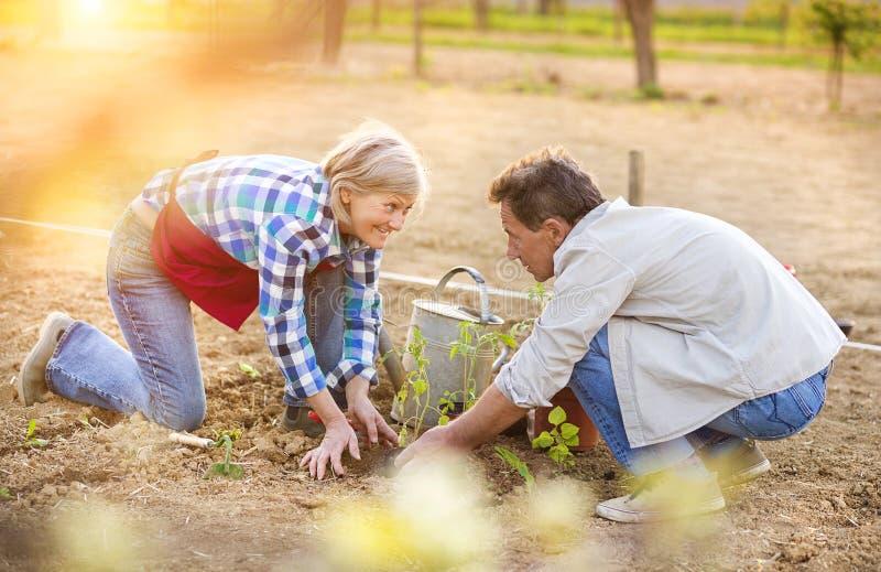Couples supérieurs plantant des jeunes plantes photographie stock
