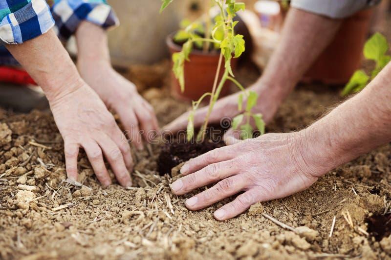 Couples supérieurs plantant des jeunes plantes image libre de droits