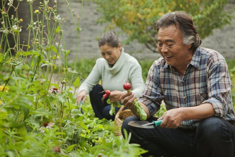 Couples supérieurs souriant et sélectionnant des légumes dans le jardin image stock